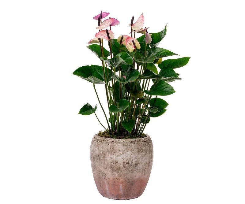 Planta Nº 01 Anthurium en Maceta de cerámica - Floristería en Madrid Margarita se llama mi amor