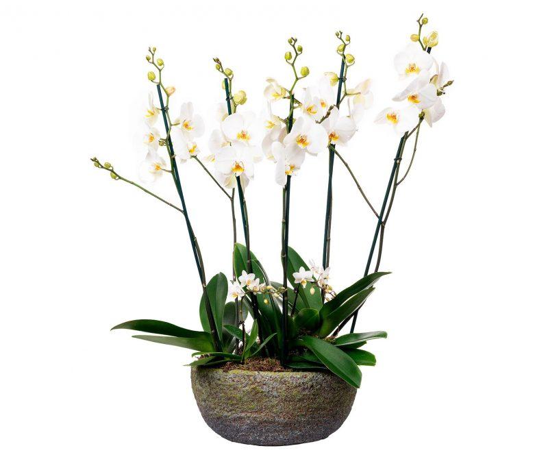 Planta Nº 13 Orquídeas mix blancas en maceta ovalada - Floristería en Madrid Margarita se llama mi amor