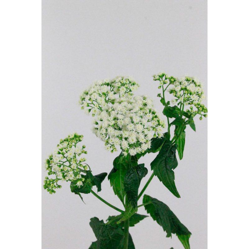 Eupatorum Rugosum - Floristería Margarita se llama mi amor