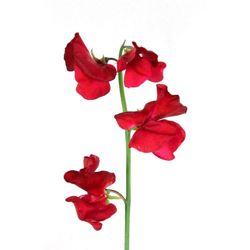 Guisante de Olor Rojo - Floristería Margarita se llama mi amor