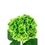 Hortensia Verde - Floristería Margarita se llama mi amor