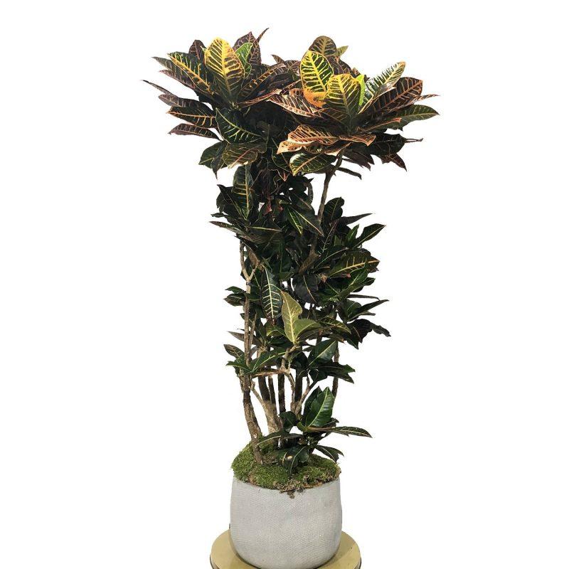 Croton Ramificado 130/140cm - Margarita se llama mi amor