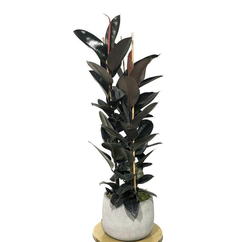 Ficus Robusta 180cm - Margarita se llama mi amor