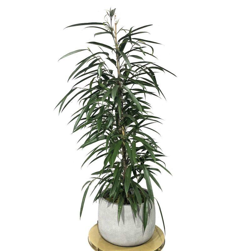 Ficus Alli 110/120cm - Margarita se llama mi amor