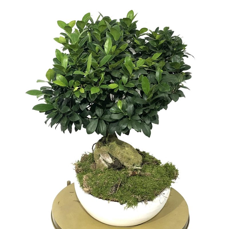 Ficus Ginseng 45/50cm - Margarita se llama mi amor