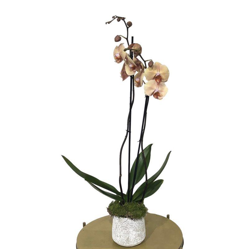 Orquídea 130 - Margarita se llama mi amor