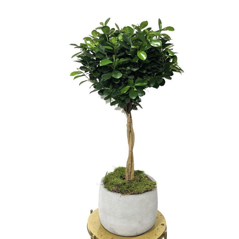 Ficus Moclamen 140cm - Margarita se llama mi amor