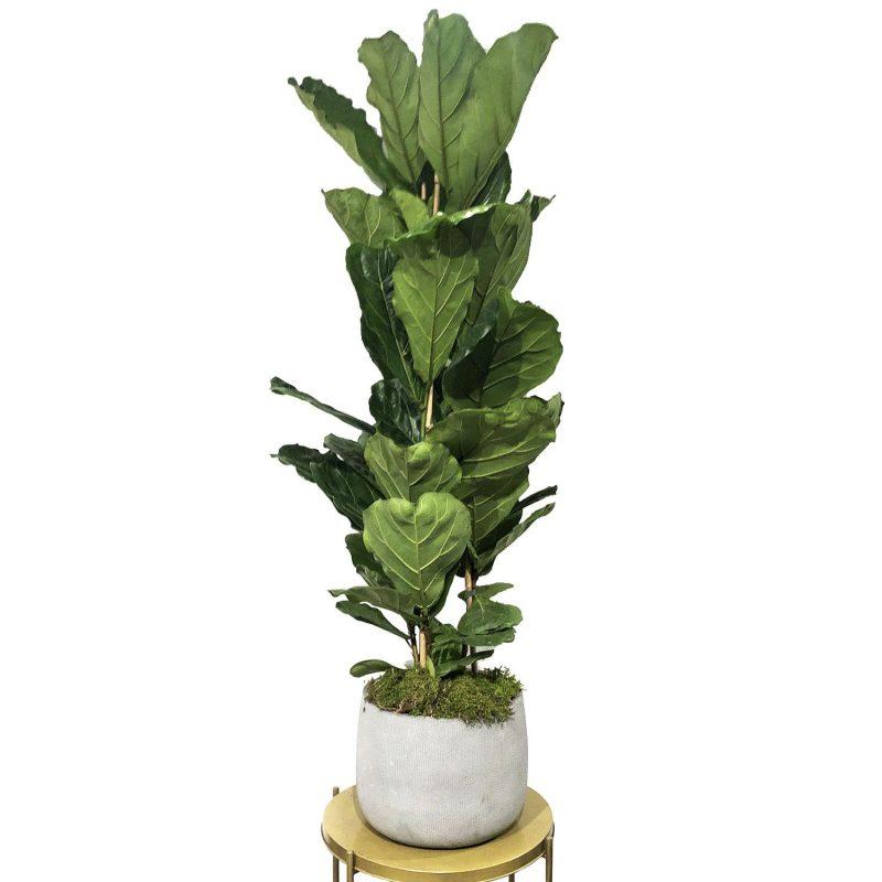 Ficus lyrata 150cm - Margarita se llama mi amor