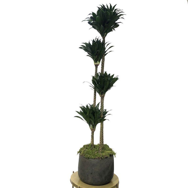 Dracaena Compacta 150cm 4 troncos - Margarita se llama mi amor