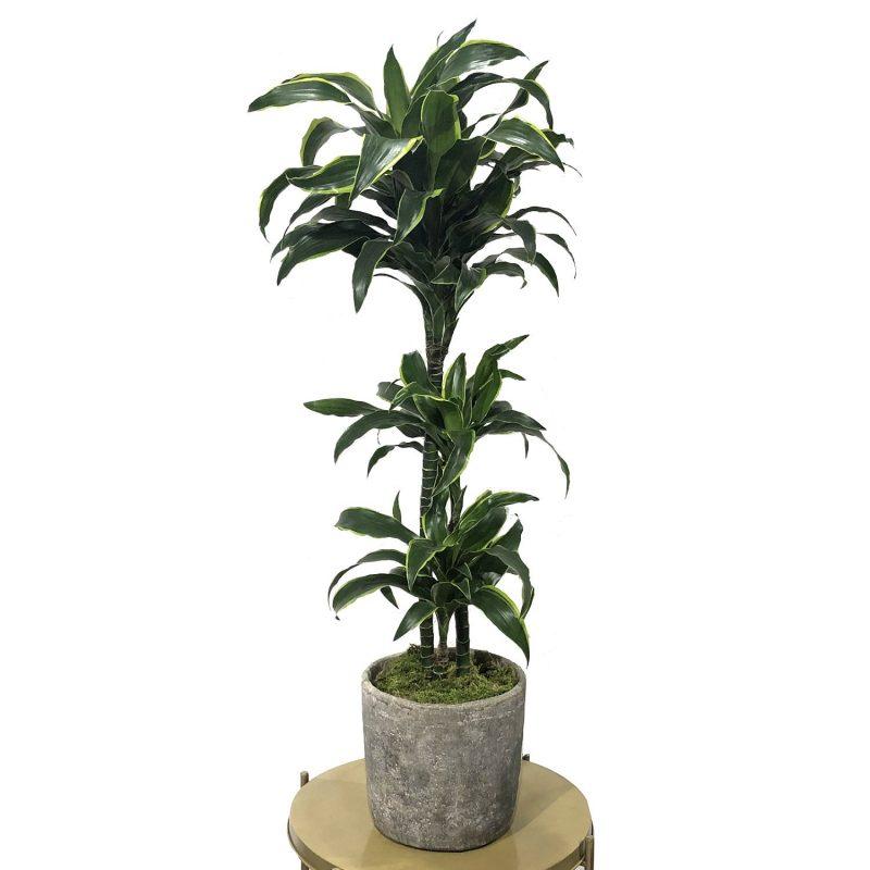 Dracaena Dorado 140cm 3 troncos - Margarita se llama mi amor