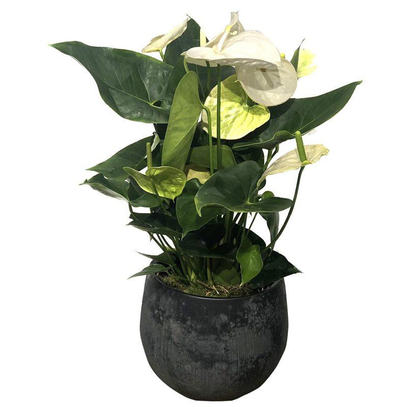 Anthurium Blanco 65cm - Margarita se llama mi amor