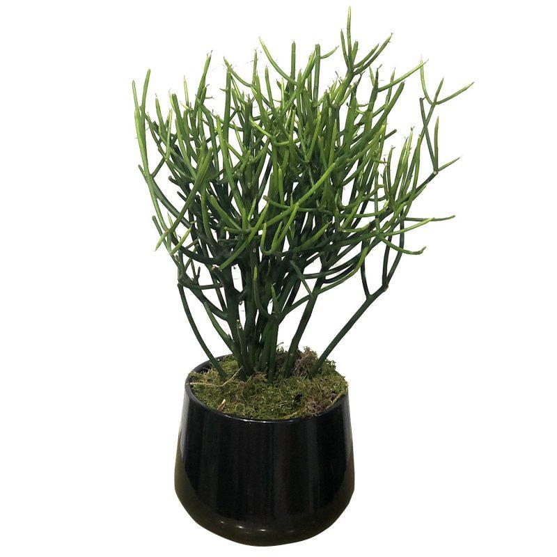 Euphorbia Tirucalli 35/40cm - Margarita se llama mi amor
