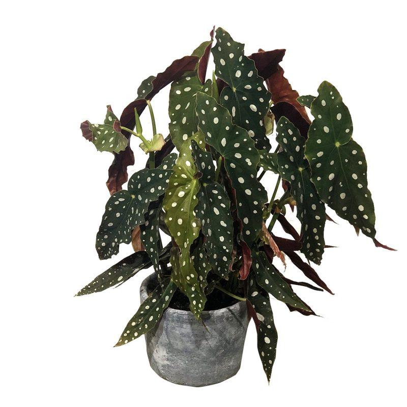 Begonia Maculata 35cm - Margarita se llama mi amor