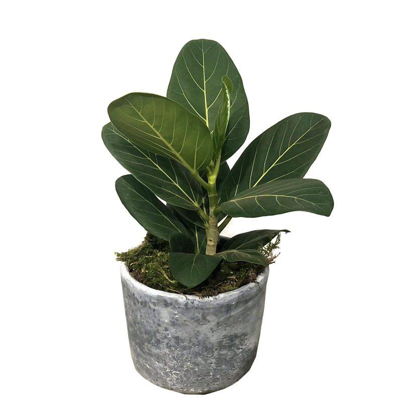Ficus Bengalensis 30cm