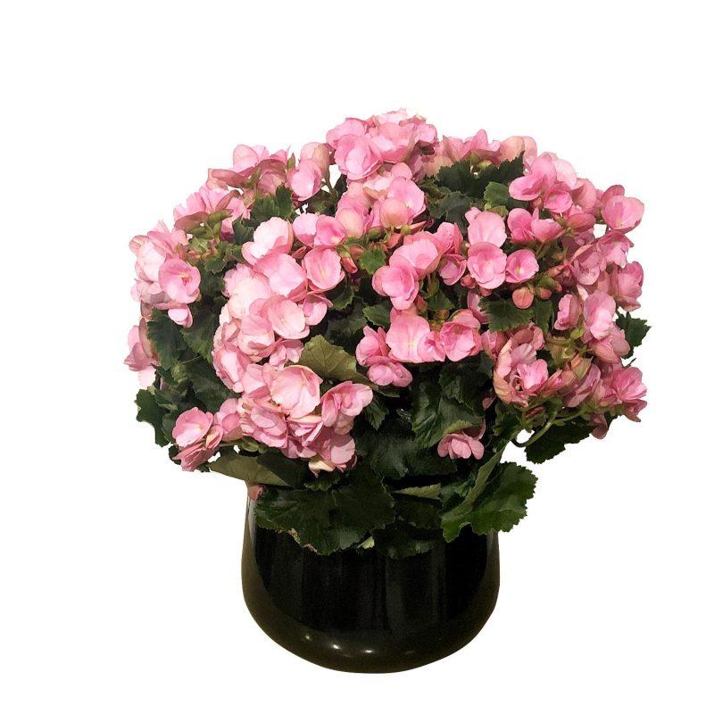 Begonia Betulia F 30/35cm - Margarita se llama mi amor