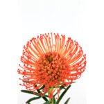 Leucadendrom Nutans Naranja - Floristería Margarita se llama mi amor