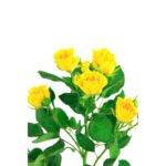 Rosa Spray Amarilla