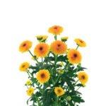 Santini Calimero Shiny - Floristería Margarita se llama mi amor