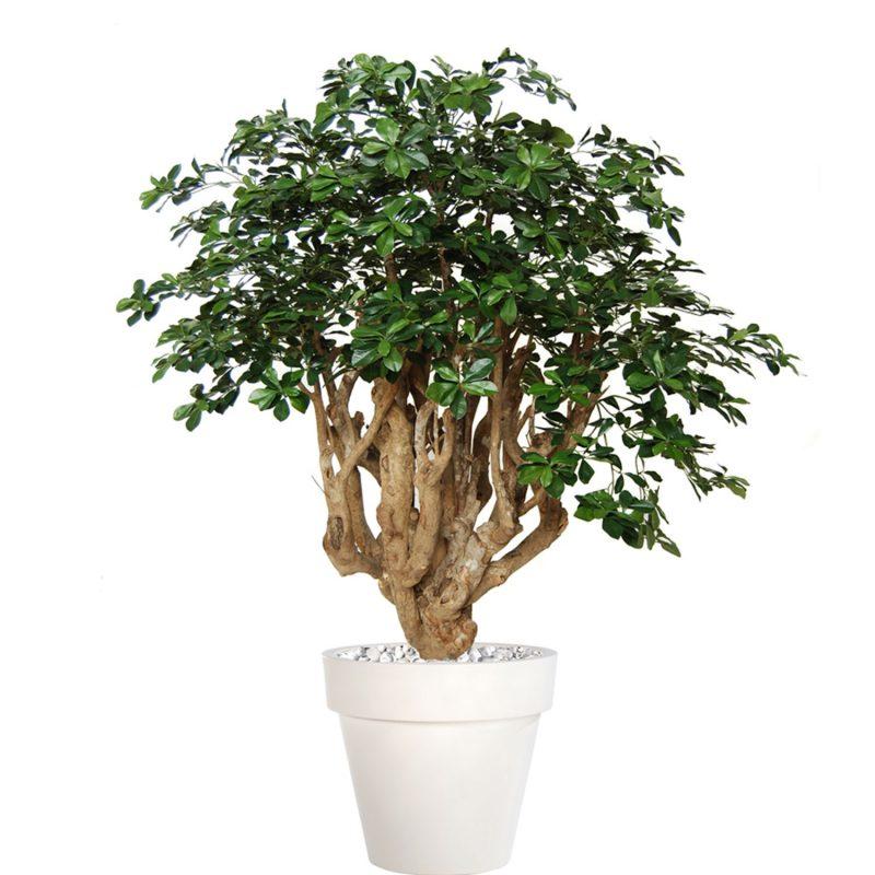 Buxifolia-Robusta-180-cm-Green-V1056016