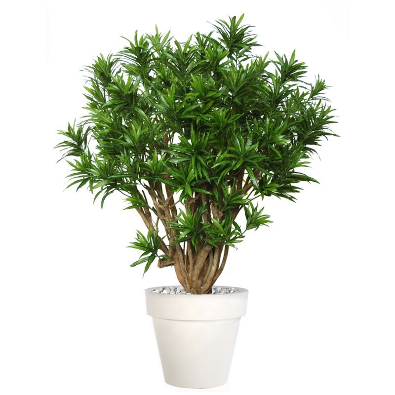 Dracaena-Reflexa-Robusta-180-cm-Green-V4008A24