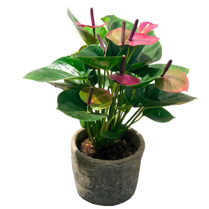 ANTHURIUM BABY PURPLE