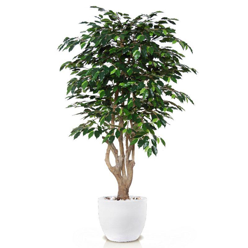 Ficus-Exotica-Malabar-180-cm-Green-V1049027