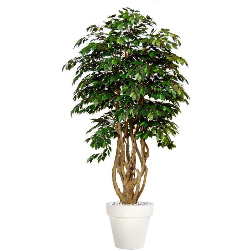 Ficus-Exotica-Malabar-Lux-250-cm-Green-V1049038