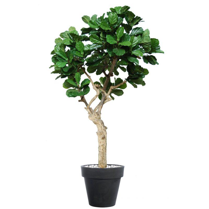 Ficus-Lyrata-Nidra-250-cm-Green-V5427006