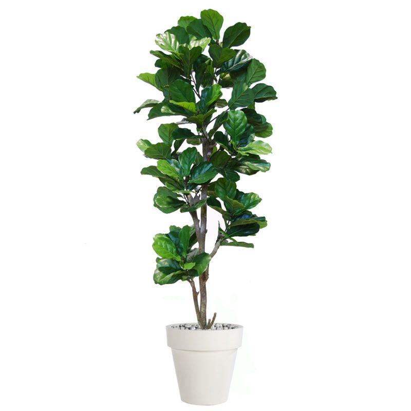 Ficus-Lyrata-Step-Tree-200-cm-Green-V5427005