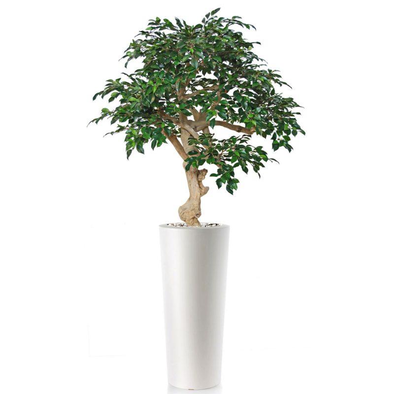 Ficus-Retusa-Crown-200-cm-Green-V1064001