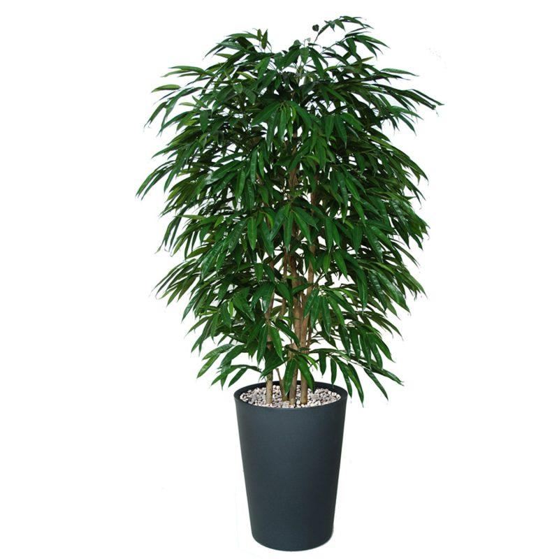 Longifolia-Boschetto