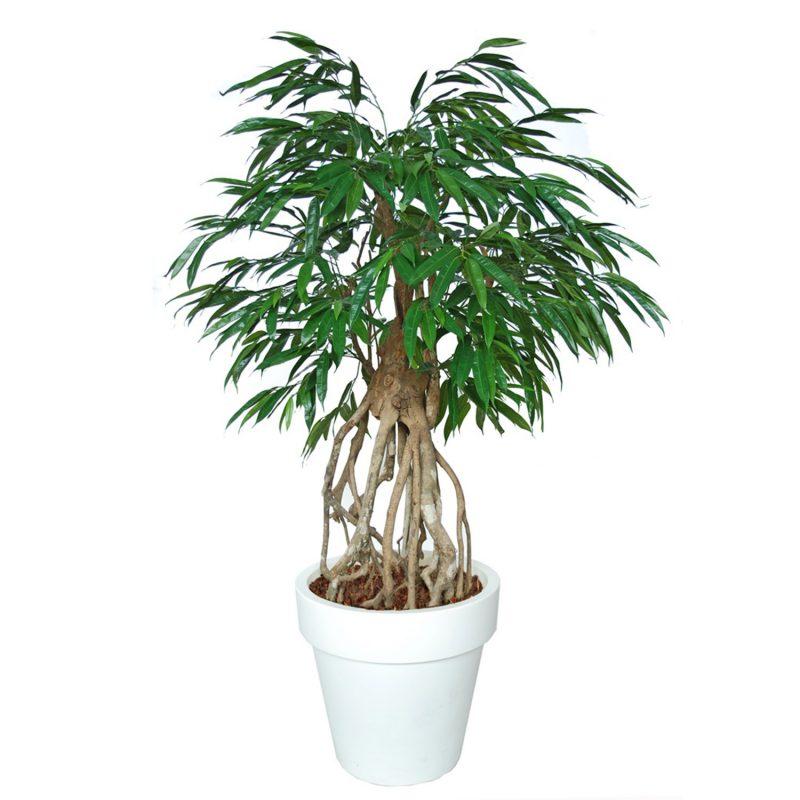 Longifolia-Everglades