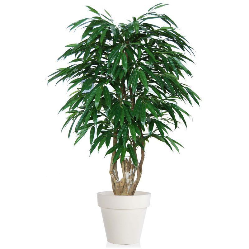 Longifolia Malabar