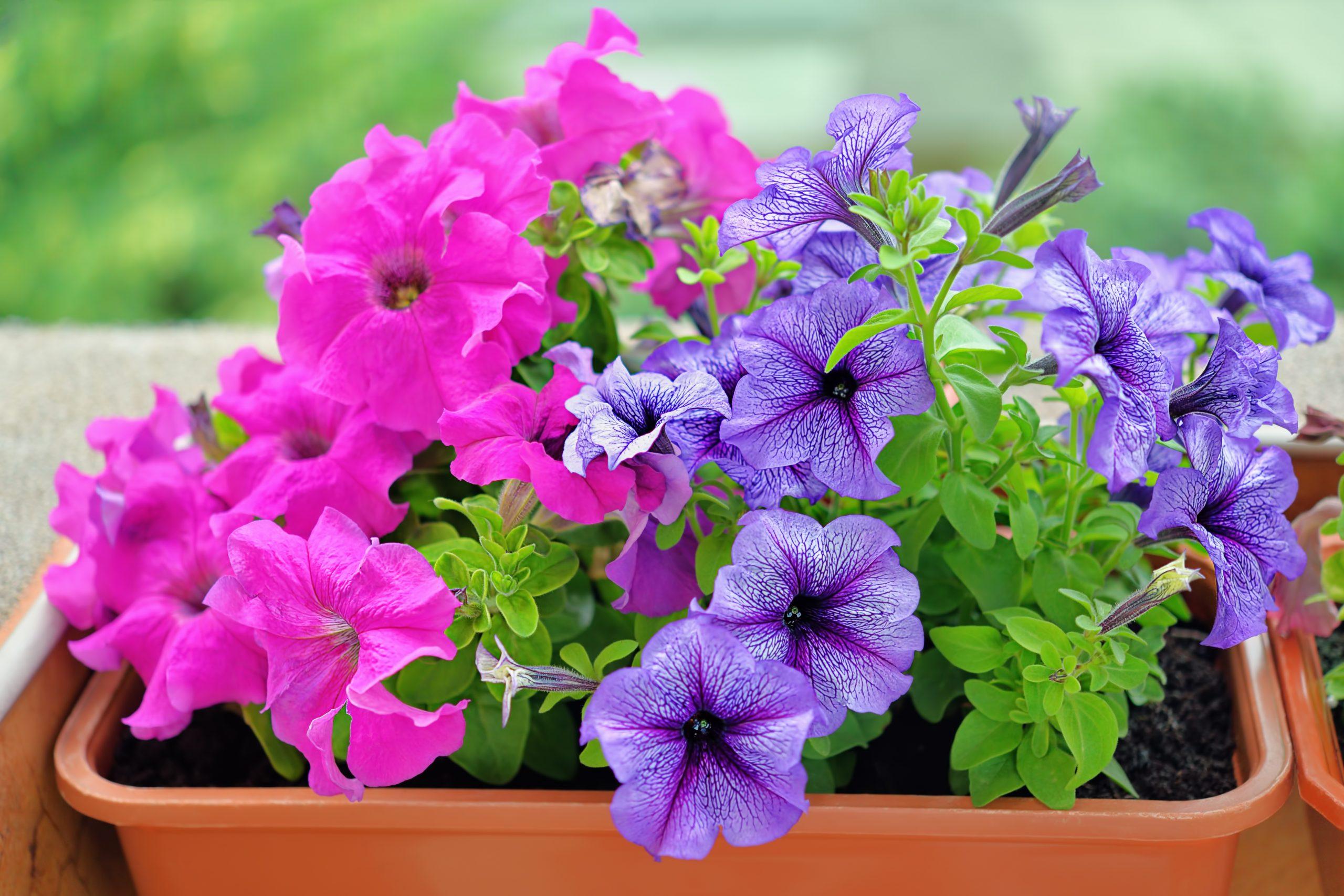 Petunias- Margarita se llama mi amor