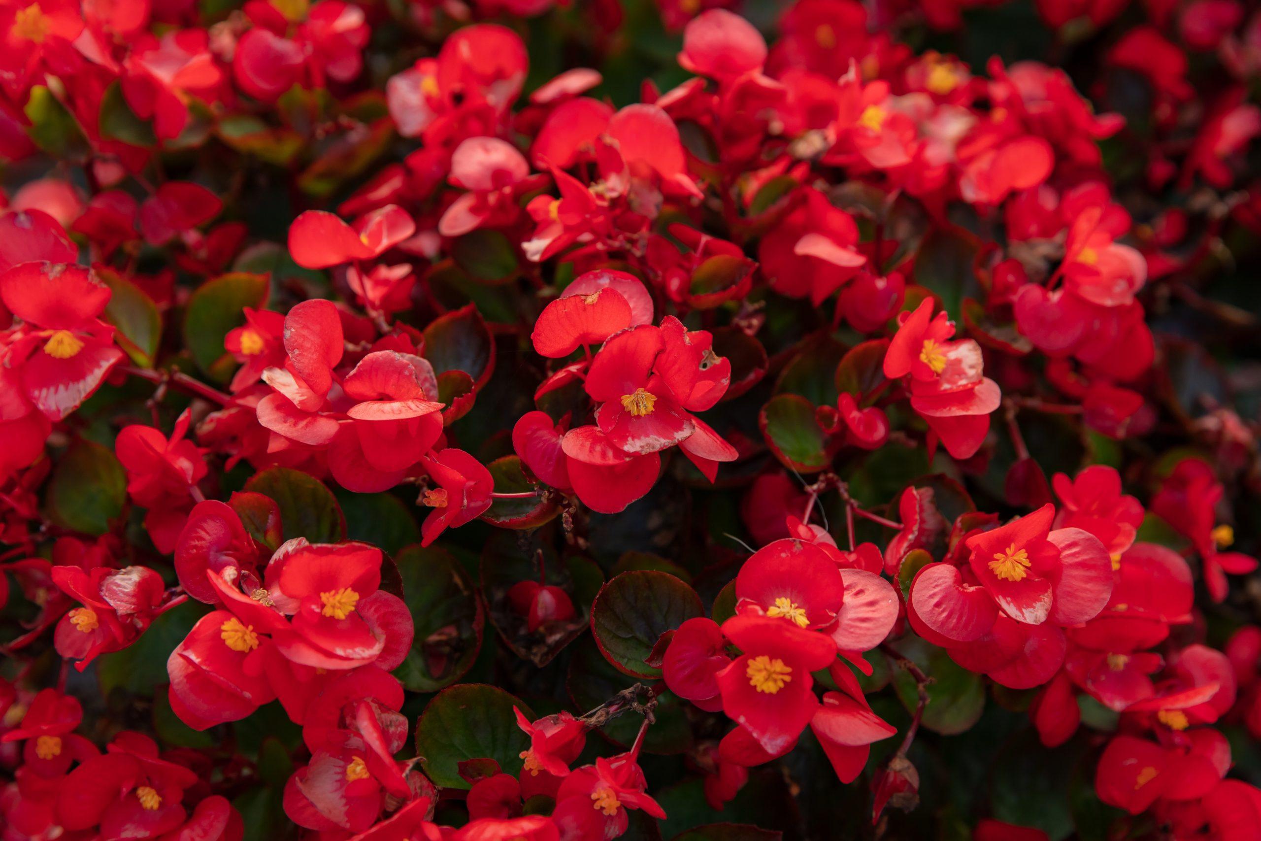 Begonia - Margarita se llama mi amor
